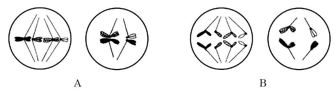 Fazy podziału mitotycznego.