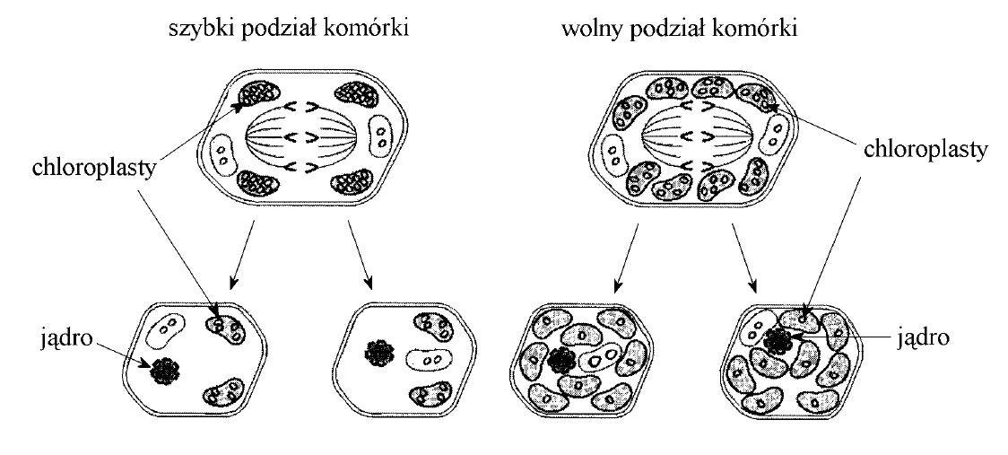 Od czego zależy intensywność podziałów komórkowych?