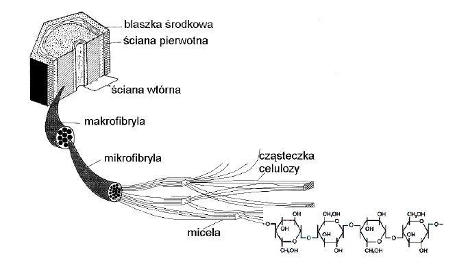 Budowa ściany komókowej roślin. Micele, mikrofibryle, makrofibryle.
