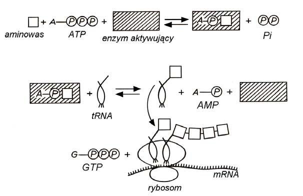 Szlak aktywacji aminokwasów w procesie translacji.