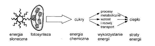 Przepływ energii w ekosystemie.