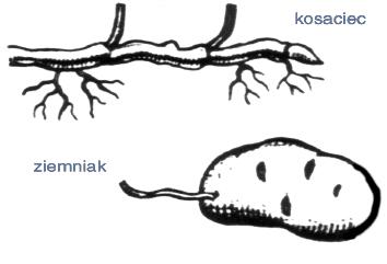 Zmodyfikowane organy podziemne ziemniaka i kosaćca