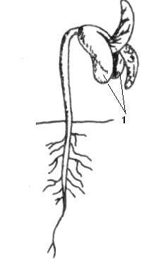 Kiełkowanie nasienia fasoli