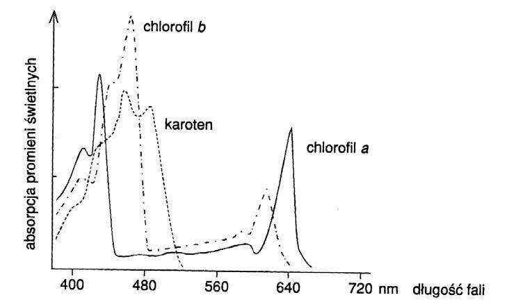 Znaczenie barwników pomocniczych w czasie fotosyntezy