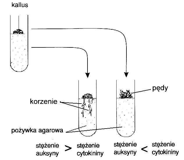 Jak stosunek stężeń cytokin i auksyn wpływa na rozwój kallusa
