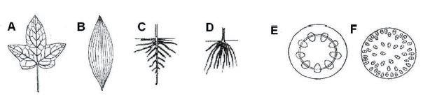 Cechy budowy jednoliściennych i dwuliściennych