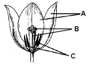 Budowa kwiatu tulipana
