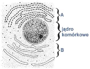 Błoniaste struktury otaczające jądro.