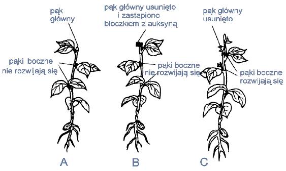 Wpływ auksyny na rozwój pąka głównego