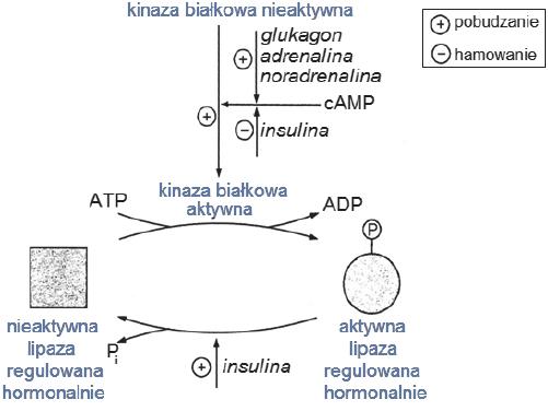 Schemat aktywacji enzymu – lipazy triacyloglicerynowej.