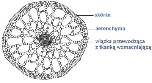 Przystosowania budowy anatomicznej łodygi do warunków środowiska