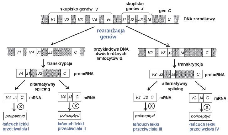 Jak działa datowanie aminokwasów