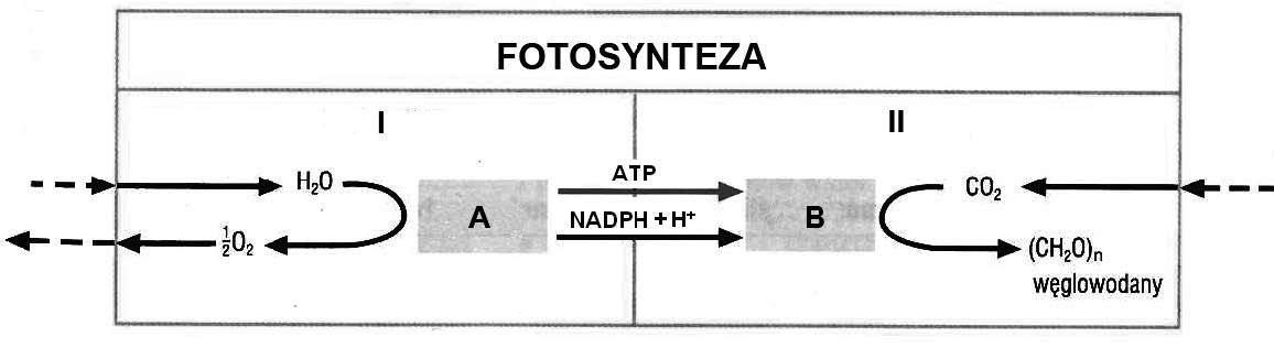 Proces fotosyntezy i struktury biorące w nim udział
