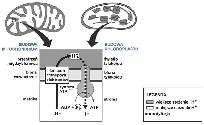 Endosymbiotyczne pochodzenie mitochondriów i chloroplastów.