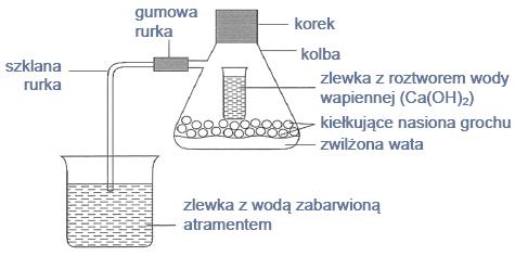 Procesy zachodzące podczas kiełkowania grochu.