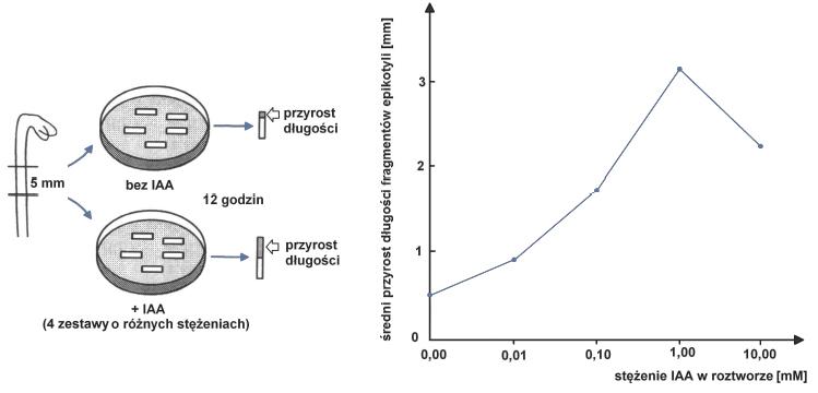 Wykres wpływu stężenia auksyn w roztworze na średni przyrost długości epikotyli.