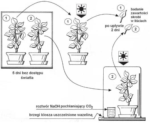 Badanie zawartości skrobii w liściach.