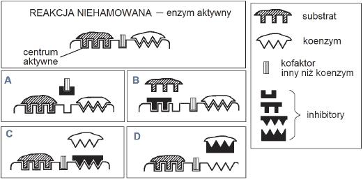 Regulowanie działania enzymów poprzez inhibitor.