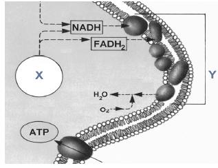 Rola syntazy ATP. Transport elektronów w łańcuchu oddechowym.