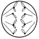 Fazy kariokinezy dzielącej się komórki.