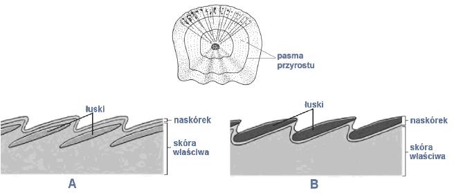 Porównanie budowy skóry ryb i gadów. Wytwory skóry – łuski.