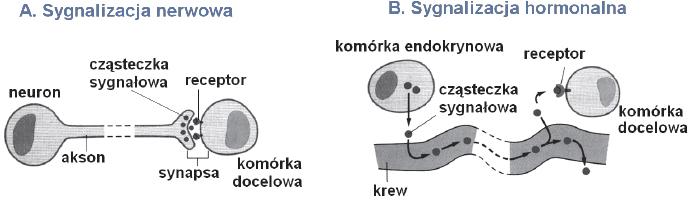 Hormonalny i komórkowy mechanizm pobudzania komórek docelowych.
