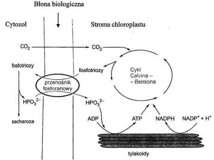 Znaczenie transportu fosfotrioz dla efektywnego zachodzenia fotosyntezy