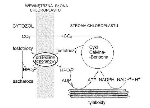Znaczenie transportu fosfotrioz dla ciągłości procesu fotosyntezy
