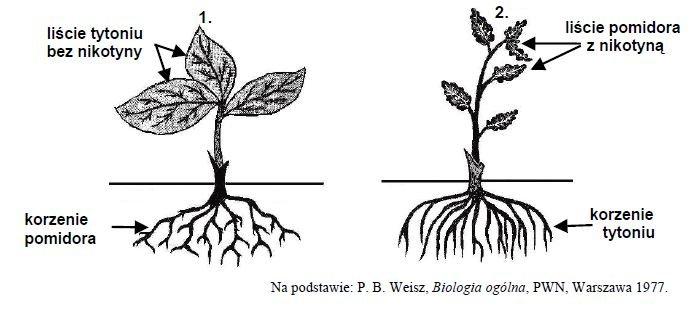 Miejsce syntezy nikotyny u roślin tytoniu