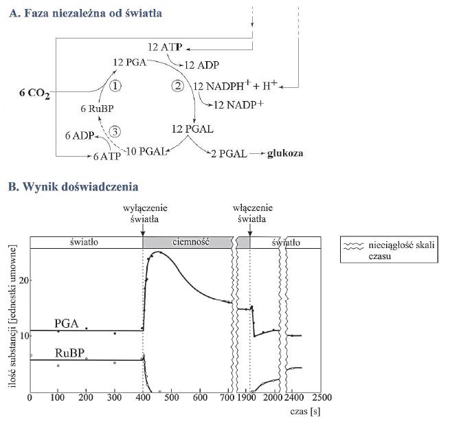 Schemat fazy niezależnej od światła fotosyntey. Cykl Calvina.
