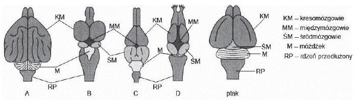 budowa mózgowia przedstawicieli różnych gromad kręgowców.