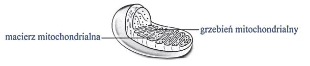Budowa mitochondrium. Macierz mitochondrialna. Matrix. Grzebień mitochondrialny.