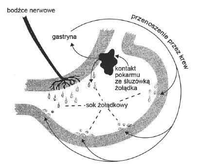 pobudzania komórek ściany żołądka do wydzielania soku żołądkowego.
