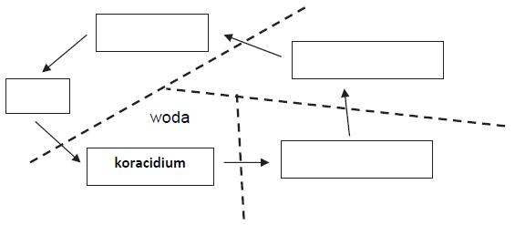 Cykl rozwojowy bruzdogłowca szerokiego.