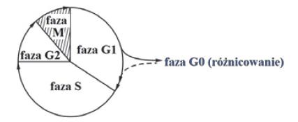 Schemat faz cyklu komórki.