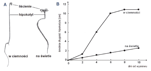 Wzrost wydłużeniowy komórek hipokotyla.