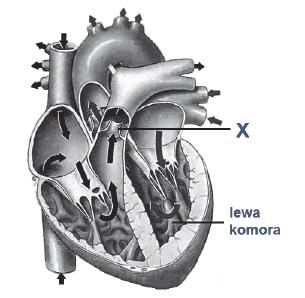 Budowa anatomiczna serca. Znaczenie zastawek w seru.