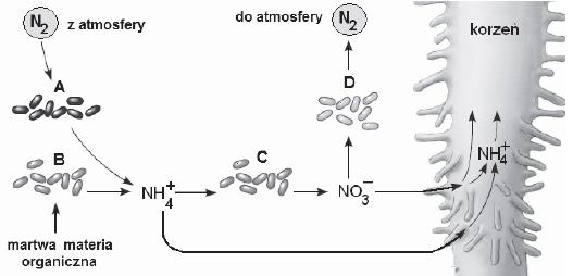 Metabolizm bakterii autotroficznych.