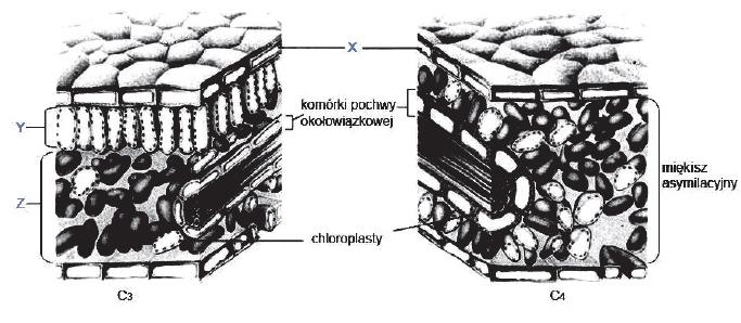 Budowa liści typu C3 i C4.