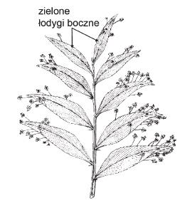 Modyfikacja łodyg bocznych u liściokwiatu