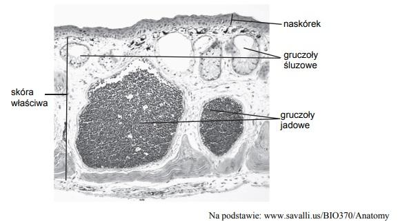 Pochodzenie zarodkowe skóry.