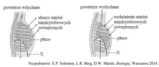 Mechanizm wentylacji płuc. Faza czyna i bierna.