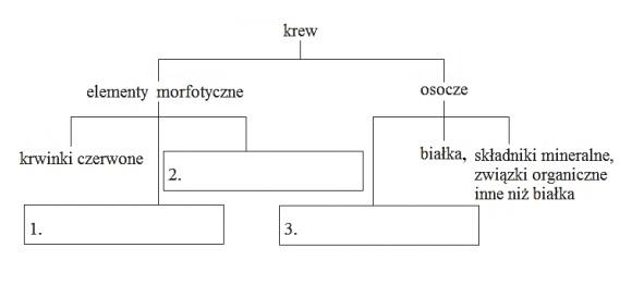 Elementy morfotyczne krwi człowieka i składniki osocza.