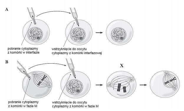 Skutki transferu jądra komórkowego do innej komórki.
