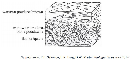 Funkcja warstwy rozrodczej w błonie podstawnej skóry.