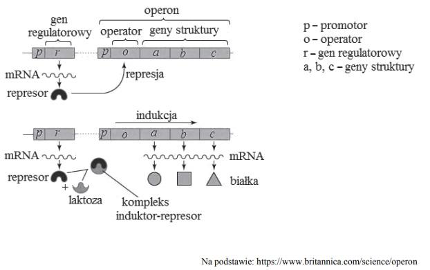 Ekspresja genów operonu laktozowego.
