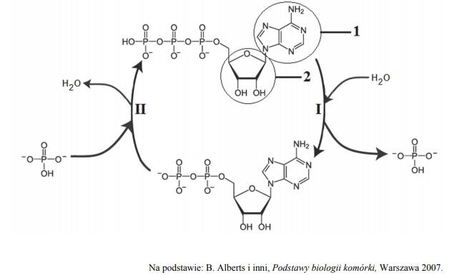 Fosforylacja ADP i defosforylacja ATP.