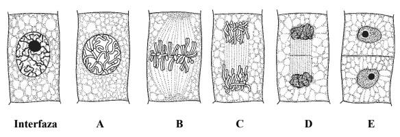 Kolejne etapy podziału mitotycznego komórki roślinnej.