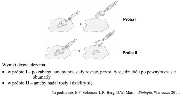 Znaczenie jądra komórkowego w funkcjonowaniu organizmu jednokomórkowego – ameby.
