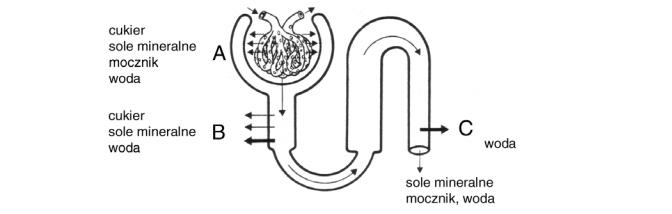 Proces filtracji w nefronie i kanalikach nerkowych.